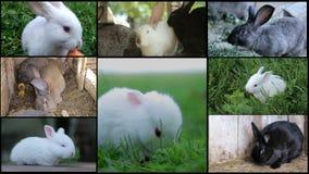 Króliki, wiele króliki, zwierzęta gospodarskie husbandry zdjęcie wideo