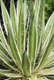 Królowa Biała liść agawa Obraz Stock