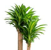 Królowa Dracaenas roślina na białym tle zdjęcia royalty free