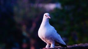 Królowa gołębie zdjęcia stock