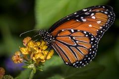 Królowa motyl na kwiacie Fotografia Royalty Free