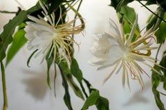 Królowa noc; Dama De Noche; Epiphyllum oxypetalum gatunki kaktus, roślina produkują kwitnienie, fragrant, zdjęcie stock