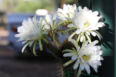 Królowa noc kwiat w kwiacie Zdjęcie Stock