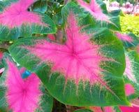 Królowa Obfitolistne rośliny Caladium liście fotografia stock