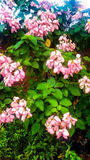 Królowa Philippines kwiatu tła wzór Zdjęcia Stock
