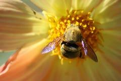 królowa pszczół Zdjęcia Stock
