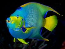 Królowej Angelfish na Ciemnym tle Zdjęcie Royalty Free