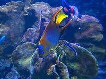 Królowej Angelfish Podmorski Odosobniony na rafy koralowa tle Obraz Stock