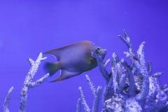 Królowej angelfish podwodny Zdjęcie Royalty Free
