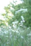 Królowej Anne koronki kwiatu serie Zdjęcia Royalty Free