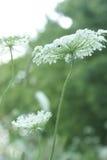 Królowej Anne koronki kwiatu serie Zdjęcie Stock