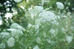 Królowej Anne koronki kwiatu serie Zdjęcia Stock