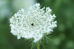Królowej Anne koronki kwiatu serie Fotografia Royalty Free
