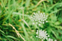 Królowej Anne ` s koronki kwiat obraz royalty free