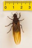 Królowej mrówka, Oskrzydlona mrówka Zdjęcie Stock