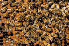 Królowej pszczoły mrowie fotografia royalty free