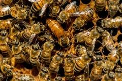 Królowej pszczoły mrowie obrazy stock