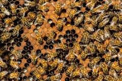 Królowej pszczoły mrowie zdjęcia royalty free