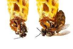 Królowej pszczoła Fotografia Stock