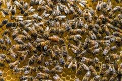 Królowej pszczoła Fotografia Royalty Free