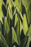 Królowej Wiktoria agawa Zdjęcie Stock