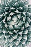 Królowej Wiktoria agawa Obrazy Royalty Free