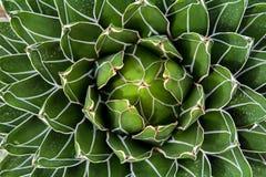 Królowej Wiktoria agawa Zdjęcie Royalty Free