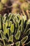 Królowej Wiktoria agawa Fotografia Stock