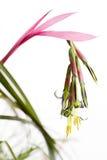 Królowych łez kwiat Zdjęcia Stock