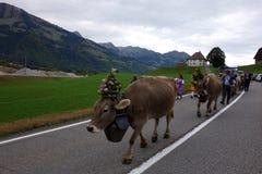 Królowych krowy Prowadzą paradę w Szwajcaria obraz royalty free