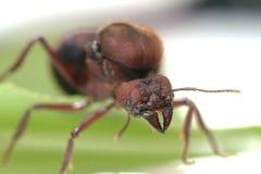 Królowych mrówki na zielonym liściu Fotografia Stock