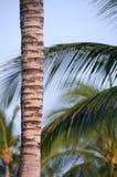 Królowych palmy w kiju golfowym blisko Waikoloa Obrazy Stock