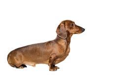 Krótki czerwony jamnika pies, łowiecki pies, odizolowywający nad białym tłem Obrazy Royalty Free