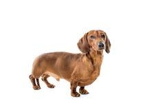 Krótki czerwony jamnika pies, łowiecki pies, odizolowywający nad białym tłem Zdjęcie Royalty Free