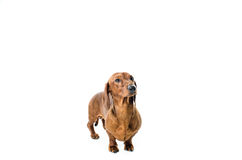 Krótki czerwony jamnika pies, łowiecki pies, odizolowywający nad białym tłem Zdjęcie Stock