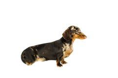 Krótki marmurowy jamnika pies, łowiecki pies, odizolowywający nad białym tłem Zdjęcie Stock