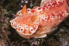 Krótki Ogoniasty Ceratosoma Nudibranch fotografia stock