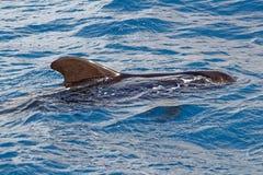 Krótki użebrowany pilotowy wieloryb z wybrzeża Tenerife, Hiszpania Fotografia Royalty Free