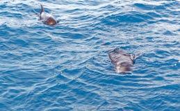 Krótki użebrowany pilotowy wieloryb z wybrzeża Tenerife, Hiszpania Zdjęcie Stock