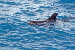 Krótki użebrowany pilotowy wieloryb z wybrzeża Tenerife, Hiszpania Obraz Stock