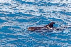 Krótki użebrowany pilotowy wieloryb z wybrzeża Tenerife, Hiszpania Obraz Royalty Free