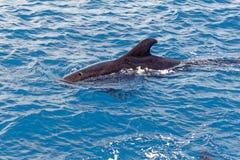 Krótki użebrowany pilotowy wieloryb z wybrzeża Tenerife, Hiszpania Zdjęcia Stock