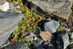 Krótki wiecznozielony krzak brusznicowy lingonberry, partridgeberry o obraz royalty free