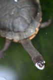 Krótkiej szyi żółw Fotografia Stock