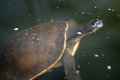 Krótkiej szyi żółw Fotografia Royalty Free