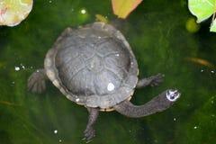 Krótkiej szyi żółw Obraz Royalty Free