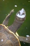 Krótkiej szyi żółw Obraz Stock