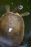 Krótkiej szyi żółw Zdjęcia Stock