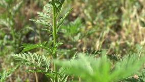 Krótkopędy młody ragweed zbiory