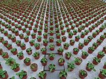 Krótkopędy rośliny w szklarni przy rozpłodnikiem Zdjęcie Stock